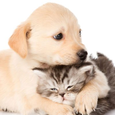 Cute little golden retriever puppy with his paw around a tabby kitten